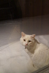 A Male Snow Princess 11.29.15 (Dullboy32) Tags: winter pets white snow animals cat outdoors yuki snowprincess dullboy32 amalesnowprincess