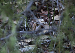 """Western Rattlesnake • <a style=""""font-size:0.8em;"""" href=""""http://www.flickr.com/photos/63501323@N07/23158871906/"""" target=""""_blank"""">View on Flickr</a>"""