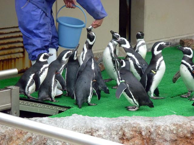寒さなんて関係ないよって顔のペンギンたち。|いしかわ動物園