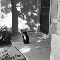 Visitor (Lainey1) Tags: leica dog oz bulldog frenchie frenchbulldog ozzy frogdog lainey1 zendog leicadlux4 elainedudzinski ozzythefrenchie