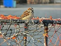 Perch (the mindful fox) Tags: bird net sparrow steveston moineau spatz crabtrap crabpot stevestonharbour