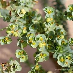 IMG_6918 Euphorbia paralias (Raiwen) Tags: espaa plant flower spain flora fuerteventura euphorbia canaryislands islascanarias euphorbiaceae euphorbiaparalias malpighiales semidesert parquenaturaldelasdunasdecorralejo