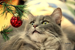 shiny bright (judecat (back with the pride)) Tags: feline cat longhairedgreycat christmas decorations sally
