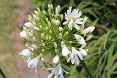 WHITE CLUSTER (PINOY PHOTOGRAPHER) Tags: manukau auckland newzealand world white flower plant