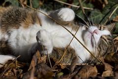 Pallina 1421 (Federico Basile FB Photo Images) Tags: gatto gatta gattina gattino gattini animale felino pallina cucciolo cucciola azione verde neve salto coccole fusa giochi cat smallcat cats cute sweet sweetcat