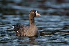 White Fronted Goose (Simon Stobart (Away for a Week)) Tags: white fronted goose water swimming northern england