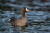 White Fronted Goose (Simon Stobart) Tags: white fronted goose water swimming northern england