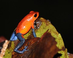 Strawberry poison-dart frog (anacm.silva) Tags: strawberrypoisondartfrog frog rã wild wildlife nature natureza naturaleza sarapiqui cope costarica centralamerica anfíbio
