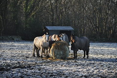 363/366 Breakfast time (katy1279) Tags: 366project frost frostymorning horses breakfast sharing hay
