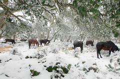 neve giara131 (Suck My Click) Tags: approvato neve giara gesturi tuili genoni sardegna sardinia italia cavalli selvatici