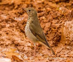 Hermit Thrush (Lindell Dillon) Tags: hermitthrush bird songbird nature oklahoma normanok lindelldillon winter