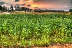 Sesame field! (Ali:18 (علي الطميحي)) Tags: sesame sunset cloud farm nature countryside jazan jizan sabiya سمسم حقل طبيعة مزرعة صبيا الطمحة الطميحي جازان جيزان ريف saudi السعودية ksa saudiarabia
