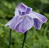 Iris (idunbarreid) Tags: iris doublefantasy