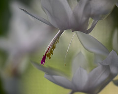 Christmas Cactus...  for Macro Mondays (all one thing (catching up slowly...)) Tags: macromondays redux2016myfavoritethemeoftheyear holidaybokeh christmascactus macro flower blossom white bloom plant soft