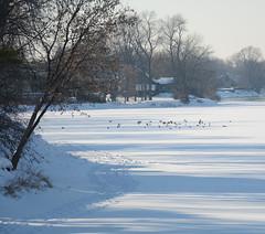 DSC_0024a (Fransois) Tags: rivière milleiles laval québec hiver winter pistes snowshoetrails raquettes oiseaux birds lumière luminosité light river joie joy