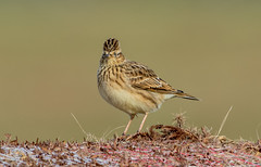 DSC4907  Skylark.. (jefflack Wildlife&Nature) Tags: skylark larks birds avian animal wildlife wildbirds wetlands farmland fields moorland meadows countryside coastalbirds songbirds nature ngc