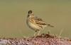 DSC4907  Skylark.. (jefflack Wildlife&Nature) Tags: skylark larks birds avian animal wildlife wildbirds wetlands farmland fields moorland meadows countryside coastalbirds songbirds nature ngc