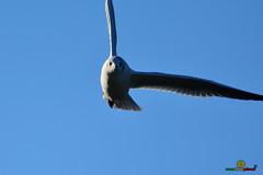 A-LUR_5613 (ornessina) Tags: trasimeno umbria byrd uccelli aironi cormorani toscana va orcia