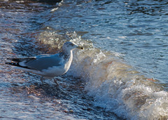 Morning Swim (tquist24) Tags: chapmanbeach christmas connecticut nikon nikond5300 beach bird feathers geotagged morning ocean sand seagull water wave westbrook unitedstates