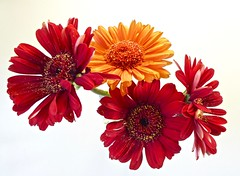 Gerbera's (Fijgje On/Off) Tags: gerbera bloem fijgje panasonicdmctz60 jan2017