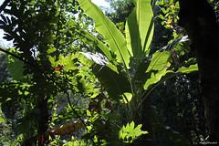 Bananier au milieu d'une harmonie de vert (philippeguillot21) Tags: nature bananier verdure entredeux reunion indianocean africa france outremer pixelistes canon