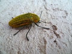 prachtkever -- Jewel Beetle -- Julodis ehrenbergii (Luc Coekaerts from Tessenderlo) Tags: grc greece kalavárda kalythies cc0 creativecommons 20160502193049lc fauna insect kever beetle species prachtkever jewelbeetle julodisehrenbergii nobody public coeluc vak201605rodos vak rodos rhodes