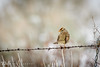 bird on a wire (Aaron_Smith_Wolfe_Photography) Tags: finch wire carsoncity nevada sierra mountains snow winter