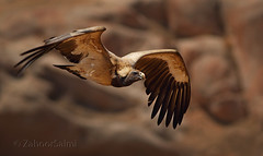 Long billed vulture (Zahoor-Salmi) Tags: long billed vulture zahoorsalmi salmi wildlife pakistan wwf nature natural canon birds watch animals bbc flickr google discovery chanals tv lens camera 7d mark 2 beutty photo macro action walpapers bhalwal punjab