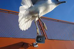 Seagull (dtanist) Tags: nyc newyork newyorkcity new york city sony a7 konica hexanon ar 40mm siferry staten island ferry seagull gull sea bird deck nyharbor harbor