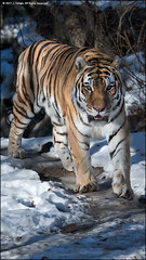 Tiger Roaming (jfelege) Tags: amur tiger pantheratigrisaltaica amurtiger siberiantiger madisonwi zoosofnorthamerica zoo zooanimal henryvilaszoo