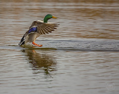 Mallard with landing gear out 2017 (TheArtOfPhotographyByLouisRuth) Tags: mallardlandinggearducklandigduckinwaterbirdinwaterbirdwildlife mallard duck wildlife duckinflight ducklanding bird wonderfulworldofwildlife waterfowl winged artofimages animalplanet critters attentiongrabbingphotos supremeimages canonphotography ducklovers ducks canoneos5dmarkiii flickrcentral flickrphotographer flickraddicts clarity view capture
