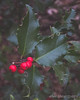 Day 21 (Urban.Photography) Tags: 21jan17 365the2017edition cy365winterberries day 21365 3652017 cy365