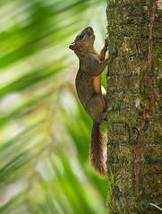 Punasaba-orav, Sciurus granatensis, Red-tailed squirrel (Blog: Foture.blogspot.com) Tags: punasaba orav sciurus granatensis red tailed squirrel caribbean coast costa rica