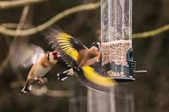 Pair of Goldfinches squabbling (Cagey75) Tags: finches garden birds feeders january fuji xt1 czj 135mm mf window