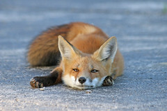 Relax (marylee.agnew) Tags: red fox relaxing wildlife cute young kit nature canine urban