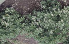 Lavatera arborea. Grande Amfrogue. Shags and auks