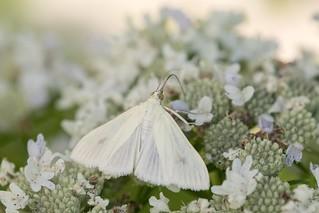 2016 Carrot-seed Moth (Sitochroa palealis) 11