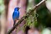 Blue Dacnis (Mario Arana G) Tags: 7d ave bird bluedacnis bocatapada cr canon costarica florayfauna marioarana naturephotography pizotetours wildlife
