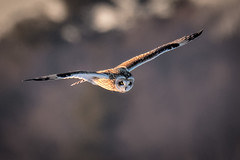 Short Eared Owl At Sunset (Vic Zigmont) Tags: shortearedowl birdinflight shortearedowlinflight sunset raptor