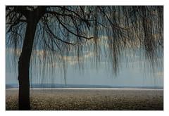 Weeping willow (bavare51) Tags: trauerweide tollensesee neubrandenburg baum wasser see landschaft tree sea natur