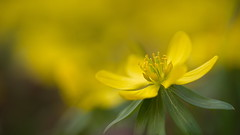 Yellow Bokeh (Stefan Zwi.) Tags: sun sonne blume flower wild wildblume 105mm f28 sigma sony a7 ilce7 emount farbe flora closeup macro nature background winterlinge gelb yellow hbw ngc npc