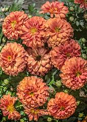 Flowers #9 (foto_morgana) Tags: belgique belgium belgië bloemen fleurs flora flowers garden gardening garten jardin jardiner lightroom nature outdoor plants tuin tuinieren wemmel on1photoraw2017