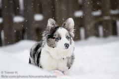 Intense (Kenjis9965) Tags: canoneos7dmarkii canon70200f28l canon ef 70200mm f28l is usm ii 7d mark cardigan welsh corgi puppy snow winter outside ball playing having fun running staring blue merle eyes contrast eos