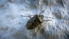 P1020423.jpg (jetiahegyen) Tags: őrség túrázás túra kirándulás rovar insect