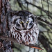 Boreal Owl- The look