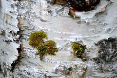 Heart Felt Day (Rebeak) Tags: texture closeup alaska nikon bark lichen birchtrees rebeak