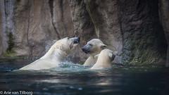 Rotterdam Zoo (Arie van Tilborg) Tags: zoo rotterdam blijdorp dierentuin vlindertuin diergaarde rotterdamzoo ijsberen poolvossen