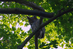 Great Horned Owl (Rick J. Baker) Tags: lyndeshores whitby owl greathornedowl birdofprey ontariobird raptor ontarioraptor