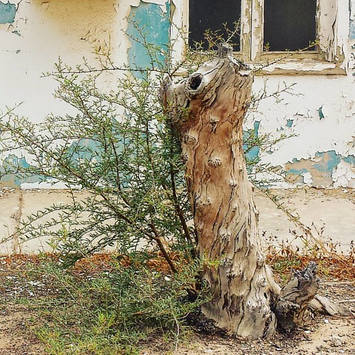 Today's laziness consits in lifeless motion.  #Lifeless #leafless #tree #shrub #bushes #abandoned #motionless #sociallife #UAE #mysharjah