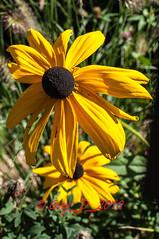 _DSC9071 (Guy_D_2010) Tags: flower fleur yellow flor blumen blomma quintaflower bunga  blume fiore blomst gul virg hoa bloem lill blm iek  kwiat blodyn   lule kukka d90   cvijet  blth cvet  zieds  gl kvtina kvetina floare  chaumontsurloire languageofflowers   fjura    voninkazo